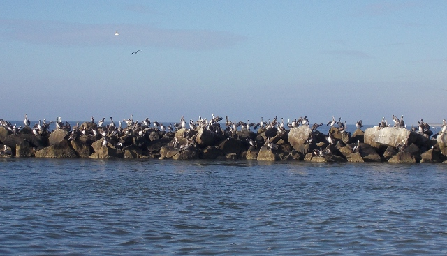 Lots of pelicans on the jetties as we leave Appalach, just like PCB